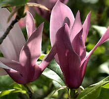 Magnolia Duo by Joy Watson