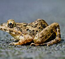 Litoria Tree Frog by Normf