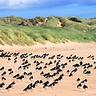 Oystercatchers by beavo