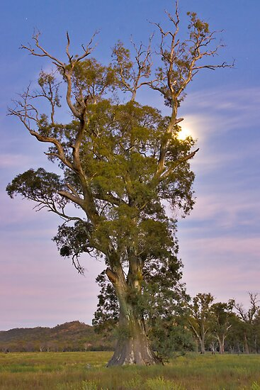 Cazneaux tree pre-dawn by Neville Jones