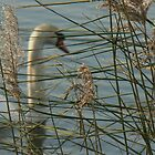 Swan behind reeds screen by LisaBeth