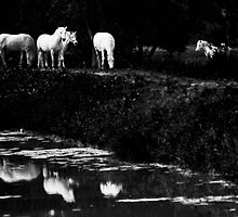White horses grazing - Camarge, France by Matej Kastelic