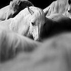 White horses - Camarge, France by Matej Kastelic