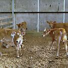Calves by cheeckymonkey