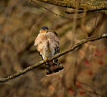 Sharp Shinned Hawk by John Absher