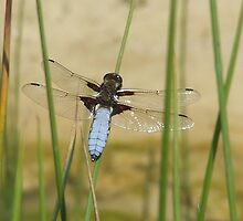 CHASER DRAGONFLY by ALAN BOWSKILL