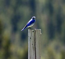 Mountain Bluebird by Alyce Taylor