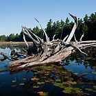 Killarney: Dead Wood, Balsam Lake by Skye Hohmann