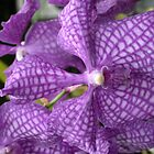 Purple Orchid by Greybeard