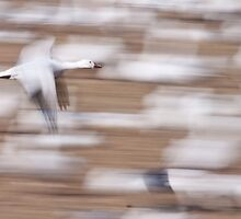 Snow Goose Landing by rjcolby