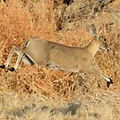 Common duiker in motion by jozi1