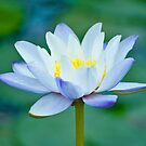 True Blue - waterlilly by Jenny Dean