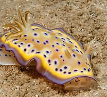Chromodoris kuniei, Papua New Guinea by Erik Schlogl