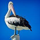 Preening Pelican by lucynab