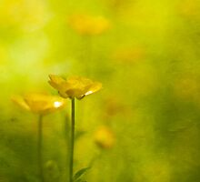 Buttercups by Jill Ferry