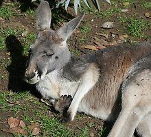 Kangaroo by Joanne Emery