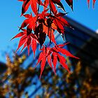 Japanese Maple by mojo1160