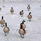 A Flock of Canada Geese by Paul Bettison