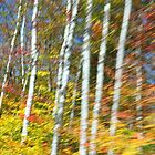 Roadside Birch Trees of New Hampshire by Paul Harrison