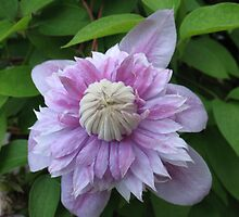 Moby Grape Clematis by MarianBendeth