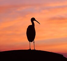 Limpkin at Sunset by Eaglelady