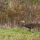 Whitetail Buck Prowling by Joe Elliott