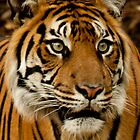 Tiger Gaze by Sophie Lapsley