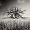 kohala tree B&amp;W by Flux Photography