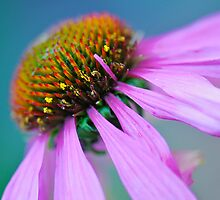 Echinacea up close by Renee Hubbard Fine Art Photography