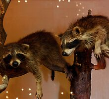 Baby Racoons by by M LaCroix