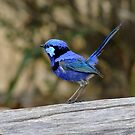 Blue Wren take 2 by Rick Playle