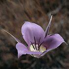 Green-Belted Mariposa Lily by Rakesh Malik