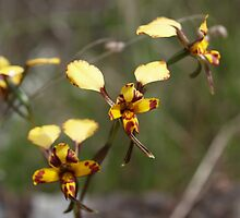 Leopard Orchid by Justine Armstrong
