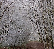 Forest trees blanketed with fog and frost  by Chris L Smith