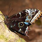 Blue Morpho - Morpho peleides by Lepidoptera