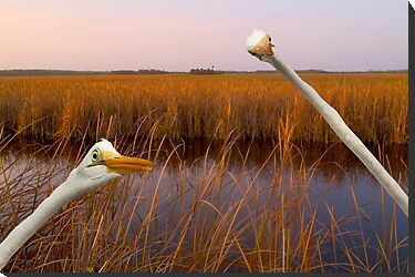 """Birds Eye View"" - great egrets sneak into the picture by John Hartung"