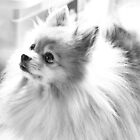 Pomeranian by Sandra Moore