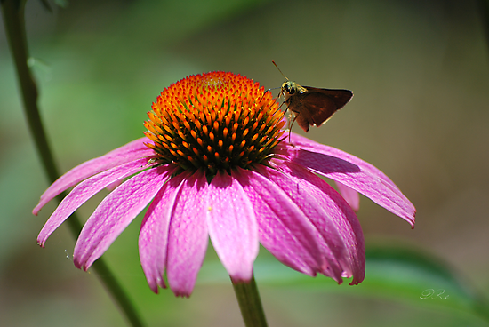 Echinacea by Diego  Re