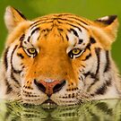 """Cool Cat"" - a Siberian Tiger cools off by John Hartung"