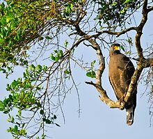 Crested Serpent Eagle  by Hiran Maddumage