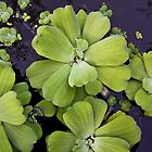 Lily Pad at Sunur Beach by David R. Anderson