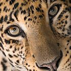 """Contemplative Cat"" - closeup of a Leopard by John Hartung"