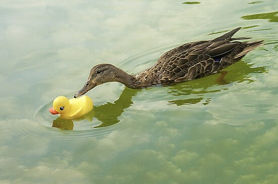 """""""Adopted?"""" - A real duck looks into adopting a rubber duckie by John Hartung"""