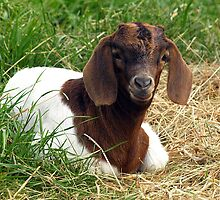 Boer Goat - one week old - Buln Buln, Gippsland by Bev Pascoe