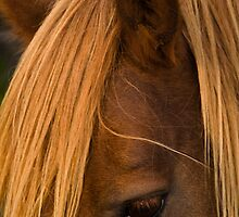"""""""The Mane Thing"""" - closeup of a wild horse by John Hartung"""