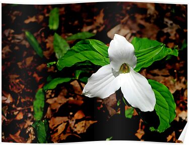 Trillium In Browns  by Jonny  McKinnon