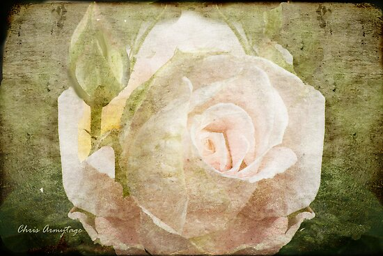 Tribute to a Rose by Chris Armytage™