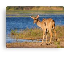 Riverside Kudu Canvas Print