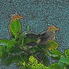 Two Guira Cuckoos by Robert Abraham