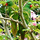 SCALY BREASTED LORIKEETS by kevperan